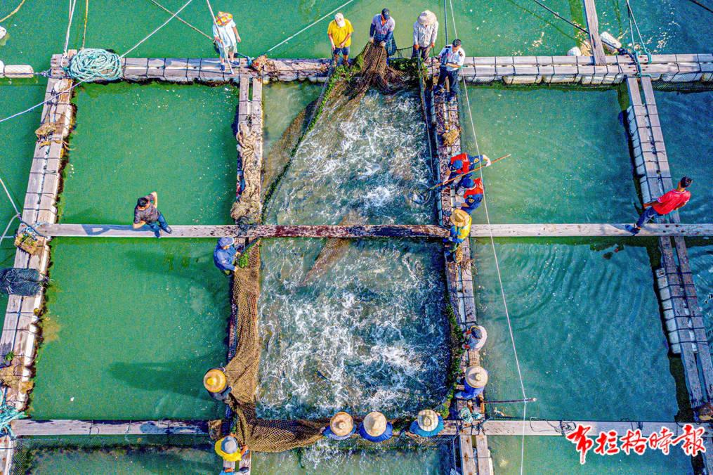 饶平渔民忙着准备活鱼出口装船,饶平海关关员正进行检验。袁国宏 摄