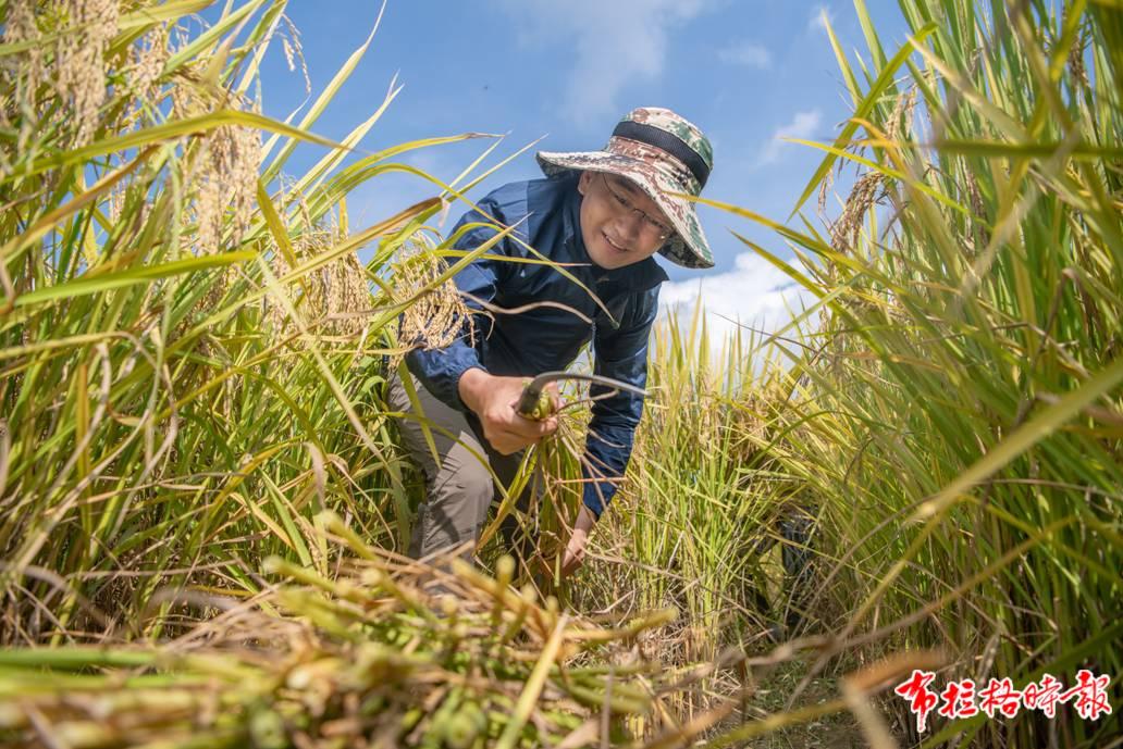 """7月9日,科研人员在华南农业大学实验基地的农田里收割""""太空稻""""。张梓望 徐昊 摄"""